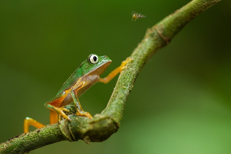 Image- Photograph of a frog known as Huaorani taken during a wildlife adventure in the Wilderness of Ecuador. Photography- safari.